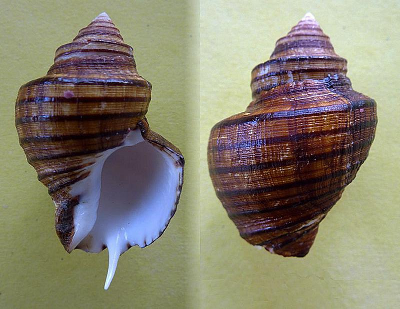 Opeatostoma pseudodon - (Burrow, 1815) Opeato10