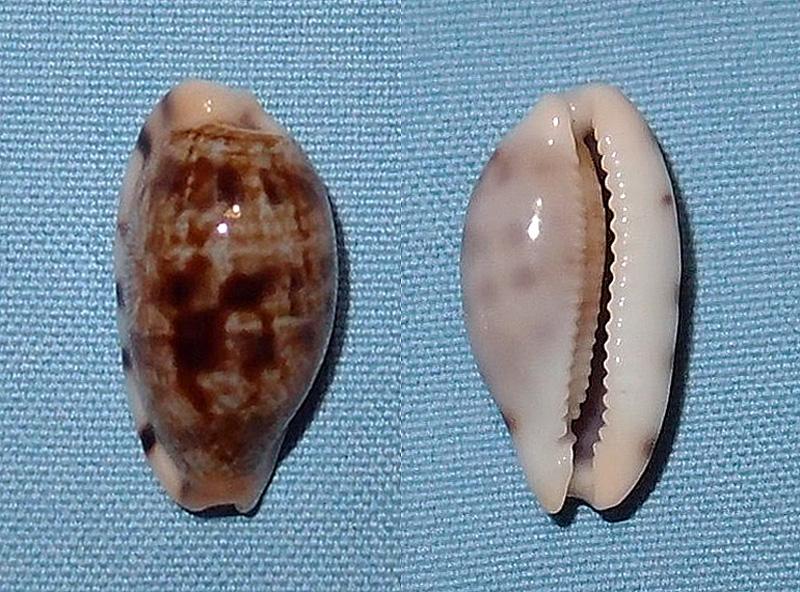 Talostolida pellucens pellucens - (Melvill, 1888) P1031110