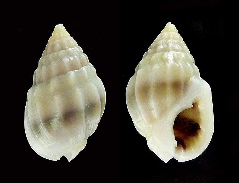 Nassarius acuticostus - (Montrouzier, 1864) P1090410