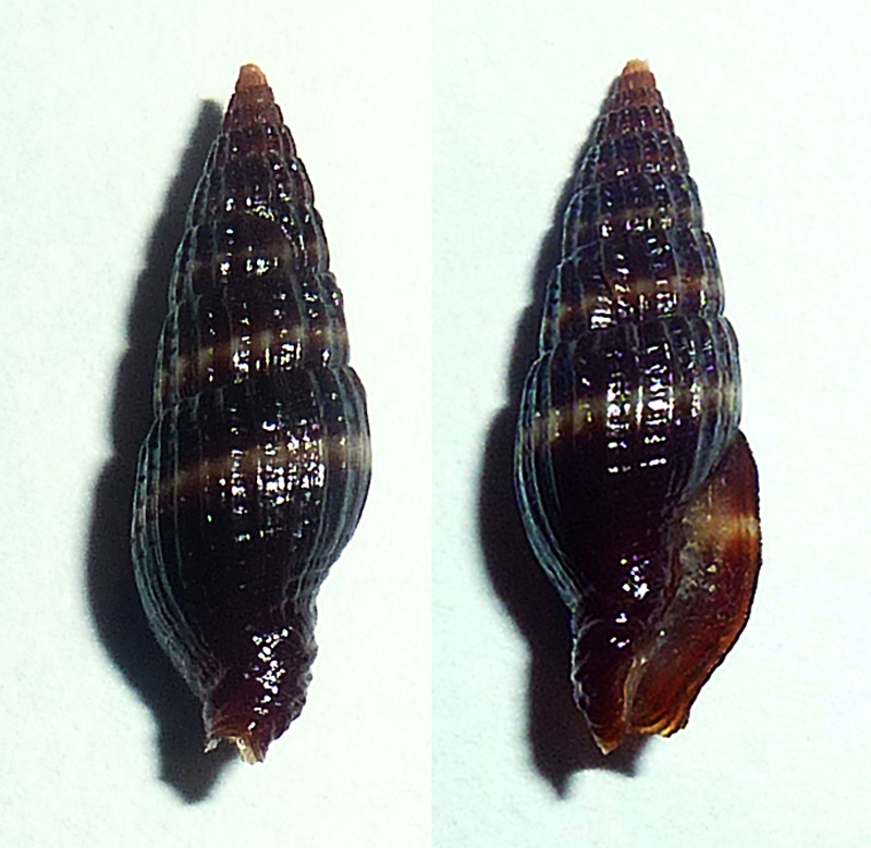 Vexillum percnodictya - (Melvill, 1888) P1090612