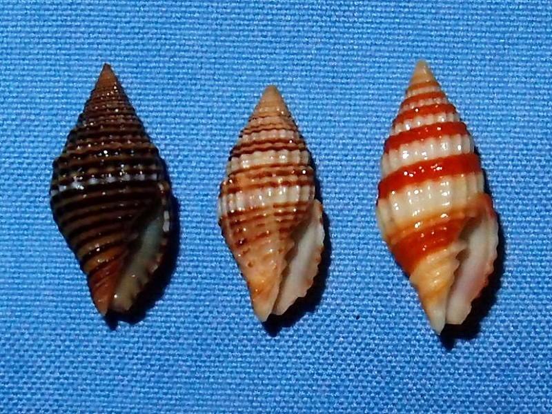 Vexillum multicostatum - (Broderip, 1836) P2071711