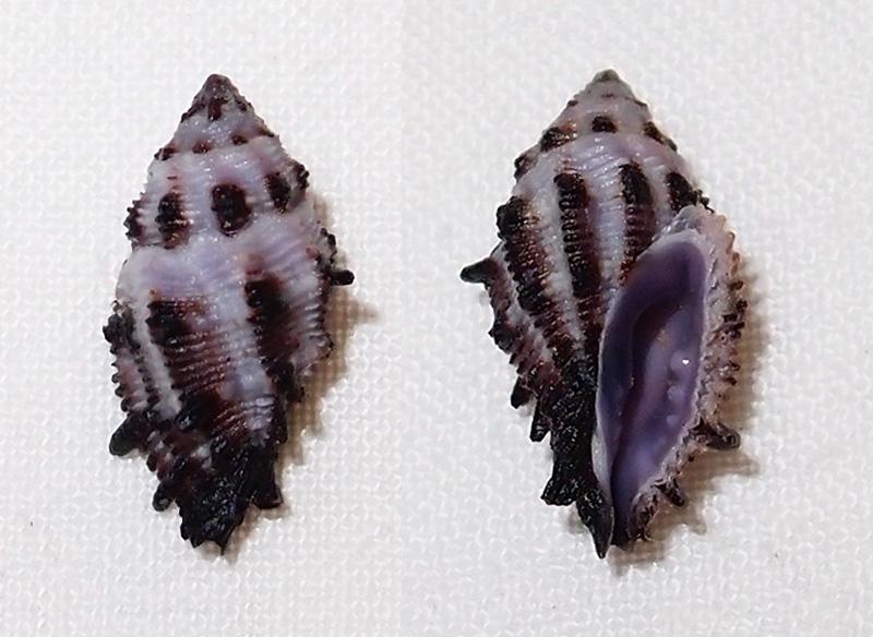 Morula striata - (Pease, 1868) Pc200911