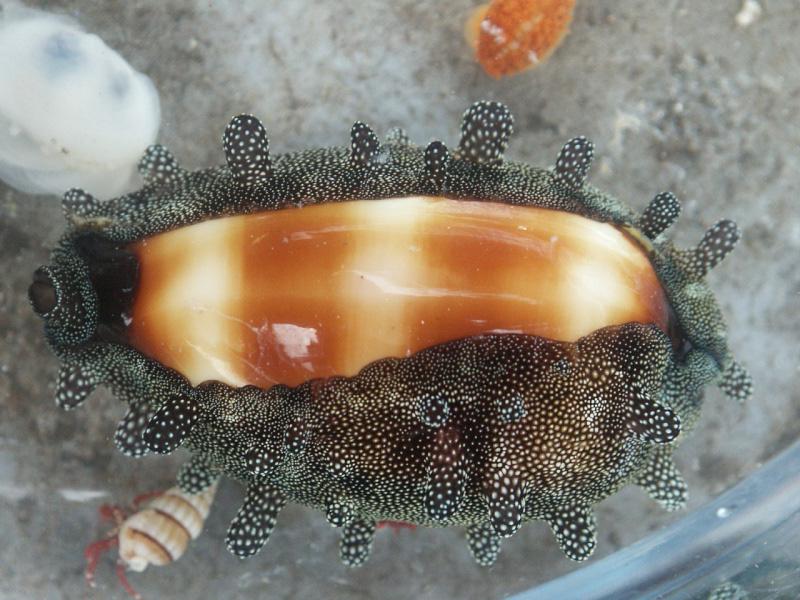 Talparia talpa - (Linnaeus, 1758) - Live Pict0011