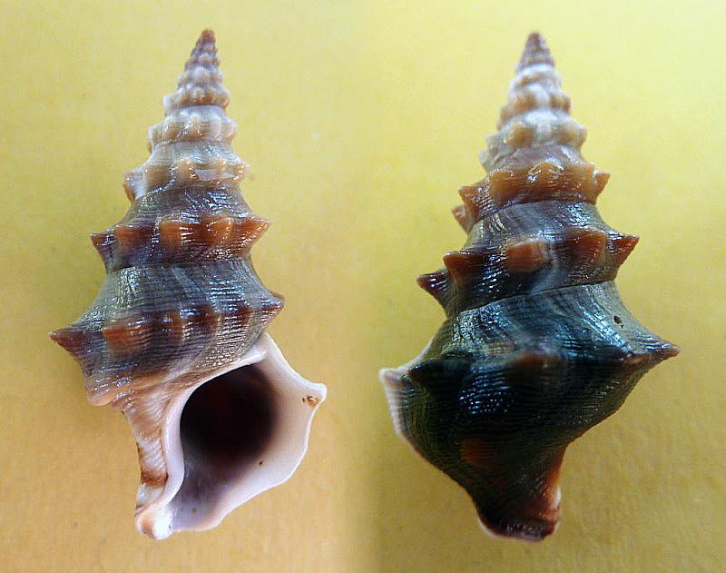 Batillariidae - Rhinocoryne humboldti - (Valenciennes, 1832)  Rhynoc10