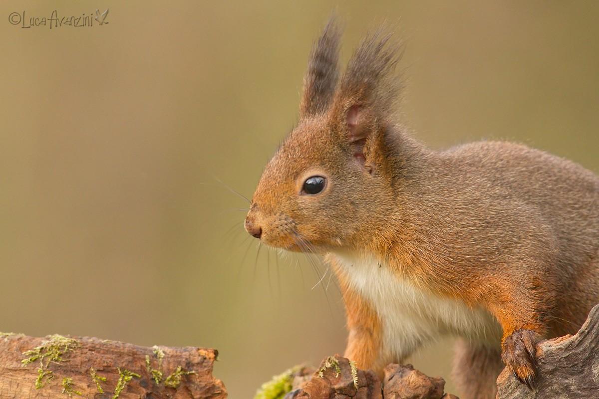 Ritagli di scoiattolo _7d_3411
