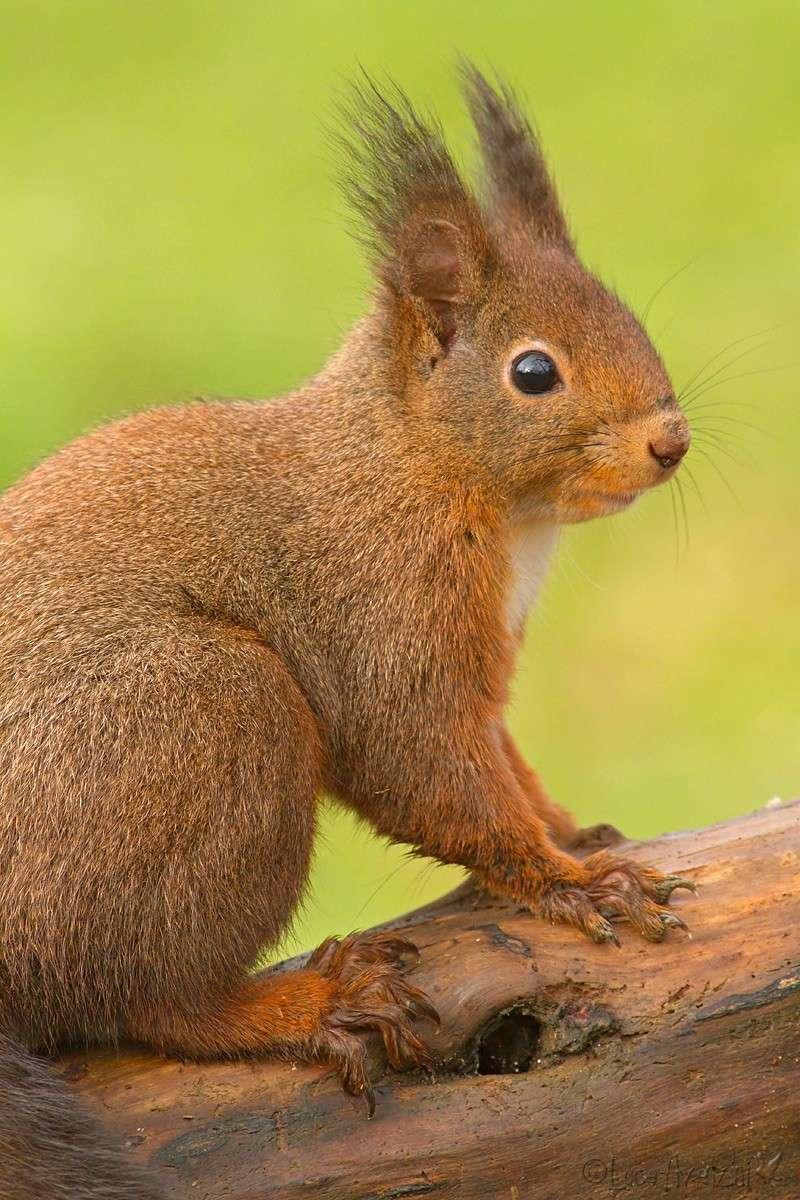 Ritagli di scoiattolo _7d_3511