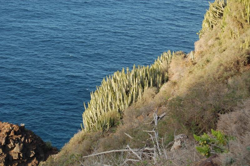 Euphorbia canariensis Dsc_2810