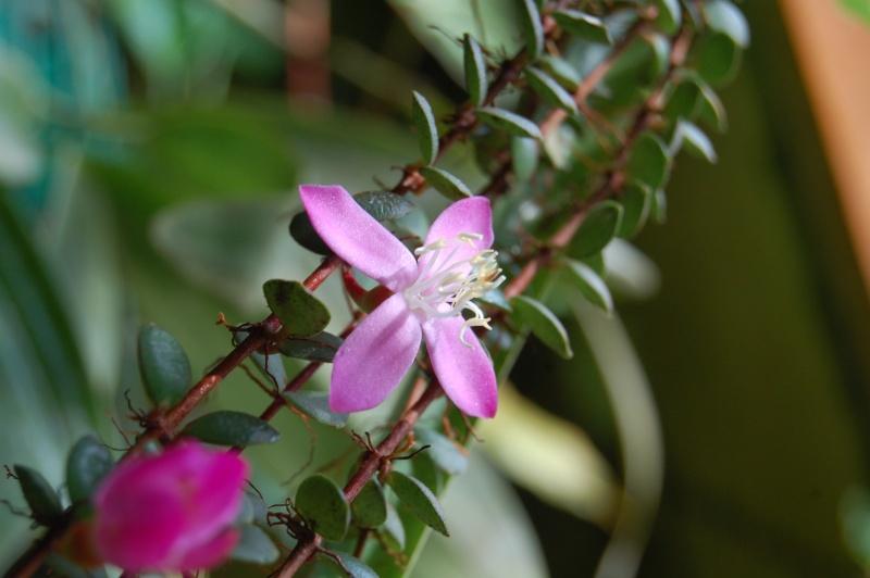 enfin des fleurs ! Medinilla sediflolia Dsc_5922