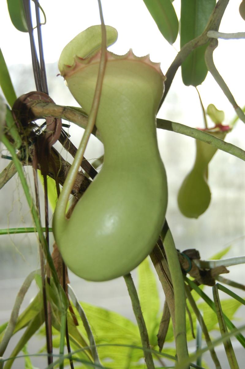 Nepenthes ventricosa Dsc_5924