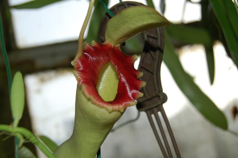 Nepenthes ventricosa Dsc_5925