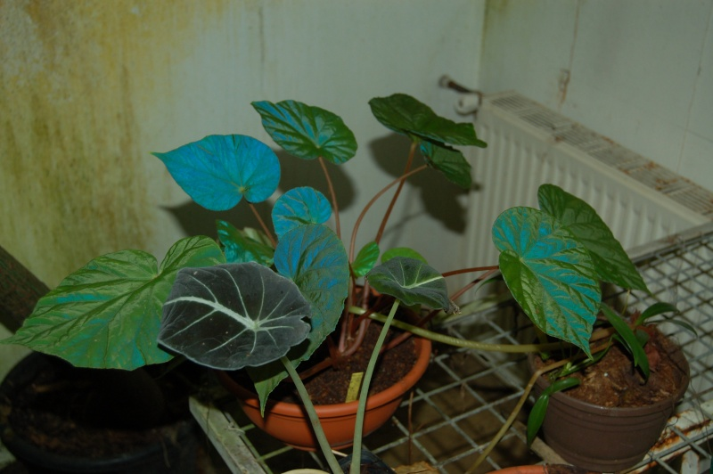 plantes iridesentes : Begonia pavonina Dsc_5928