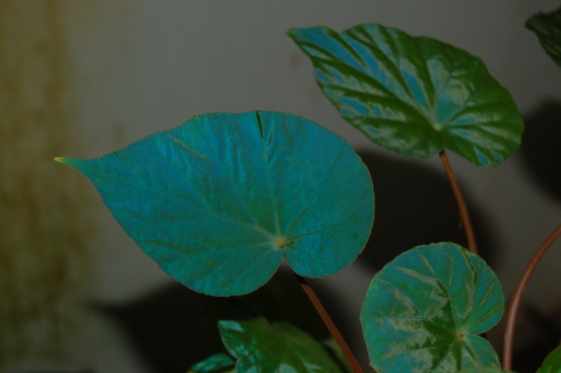 plantes iridesentes : Begonia pavonina Dsc_5929