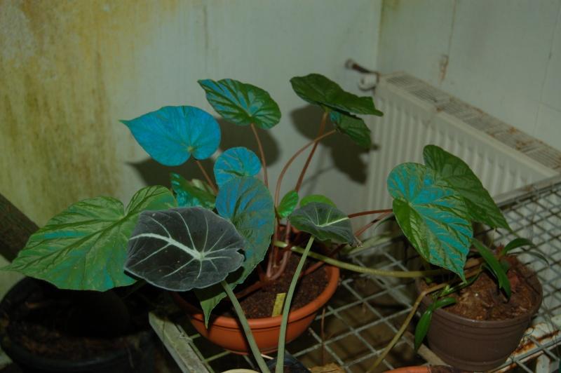 Begonia pavonina (rhizomateux) Dsc_5930