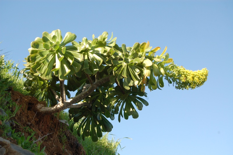 Aeonium arboreum v holochryum Dsc_6116