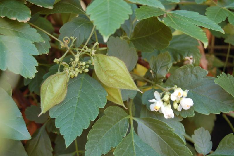 cardiospermum grandiflorum Dsc_6316