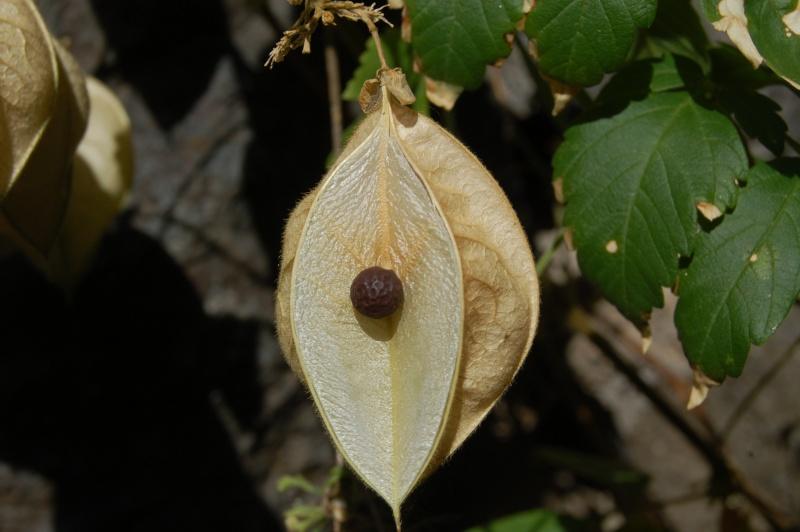 cardiospermum grandiflorum Dsc_6318