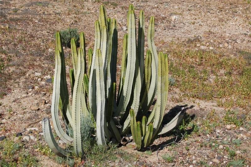 Euphorbia canariensis Dsc_6414