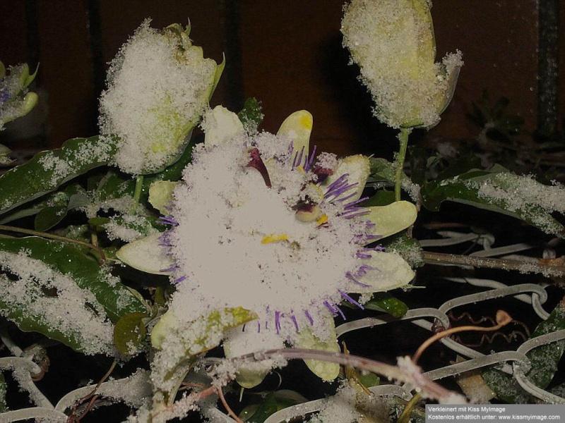 """Passiflora - Passionsblume - kleine """"Juwelen"""" - alles über Aussaat, Pflege, Vermehrung und natürlich Blütenbilder :) - Seite 2 Passif10"""