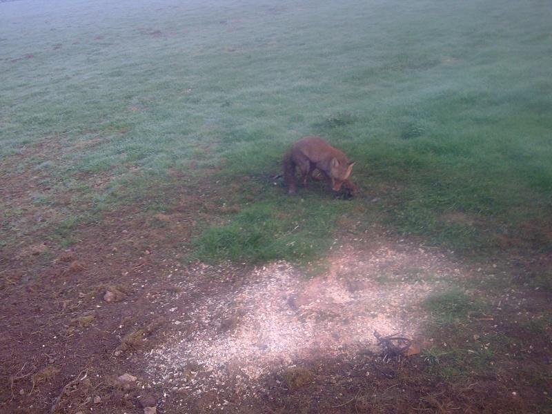 renard au belisle Photo011