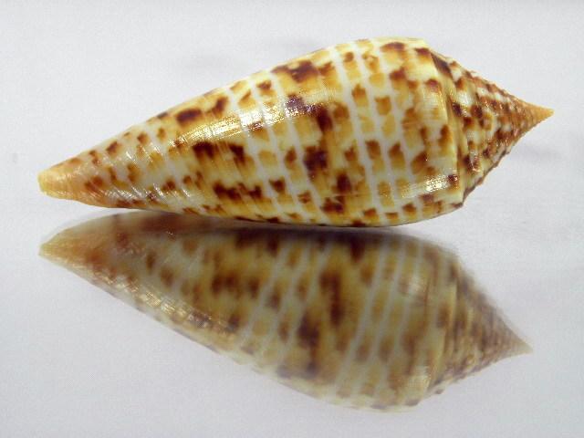 Conus (Phasmoconus) pretiosus  G. Nevill & H. Nevill, 1874 Kgrhqr12