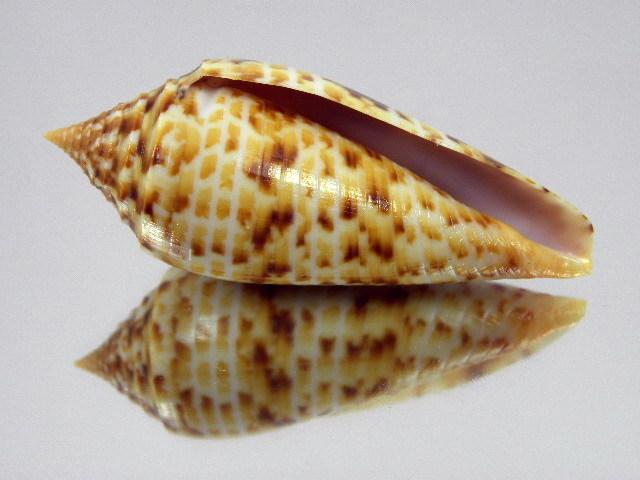 Conus (Phasmoconus) pretiosus  G. Nevill & H. Nevill, 1874 Kgrhqv13
