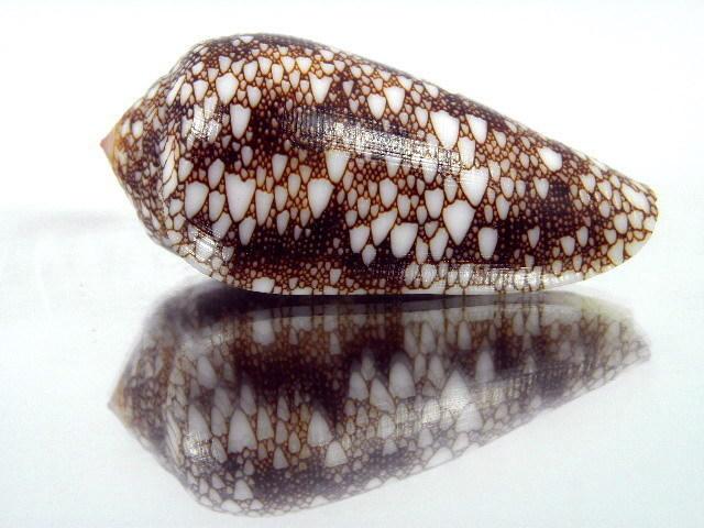 Conus (Darioconus) omaria patonganus    da Motta, 1982  T2ec1613