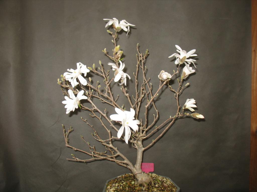 Magnolia Stellata Img_0023