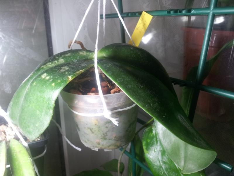 Phalaenopsis gigantea - Seite 2 Phalae10