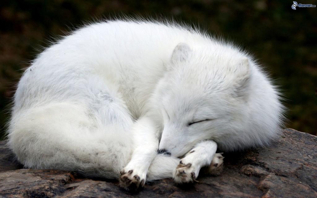votes le renard polaire  Renard10