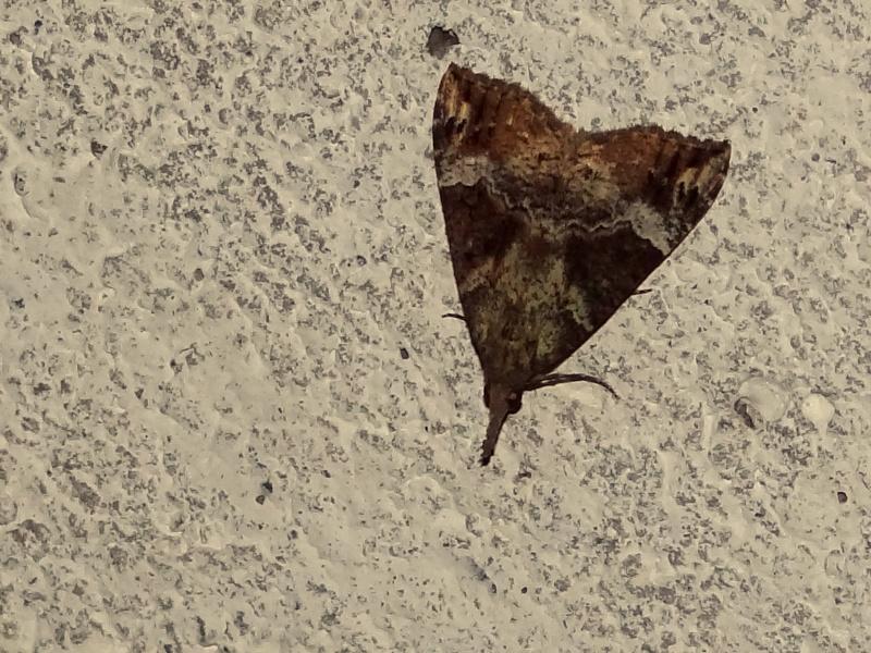 Papillons des bunkers (Prospection d'Hiver) PDF - Page 2 04910