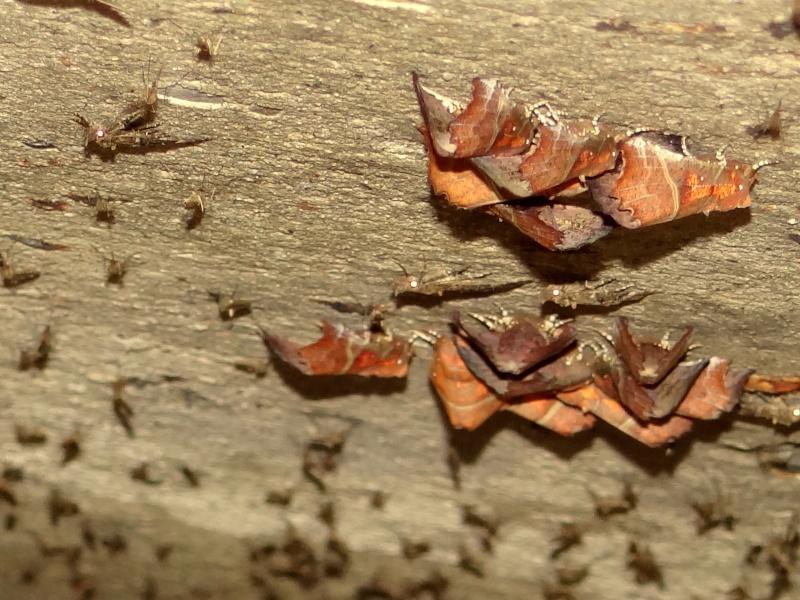 Papillons des bunkers (Prospection d'Hiver) PDF - Page 2 05310