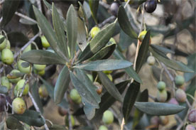 Propriétés de la feuille d'olivier Olivie10