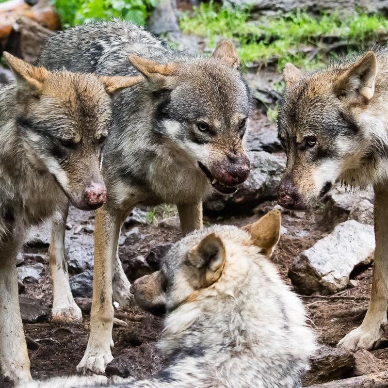 Loups du Parc Alpha (Saint Martin de Vésubie) 2011-h10