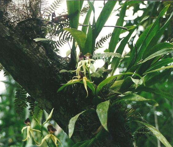 Encyclia cochleata Unbena21