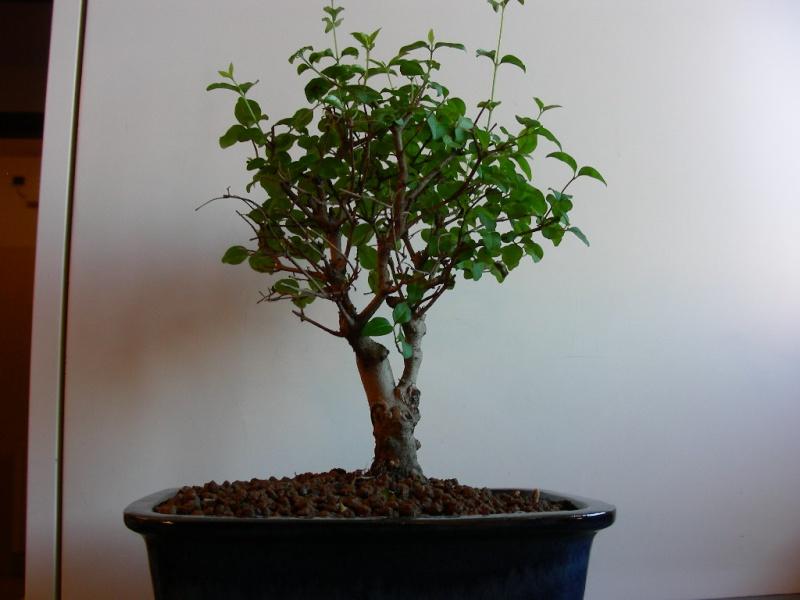 ligustro perde foglie 110