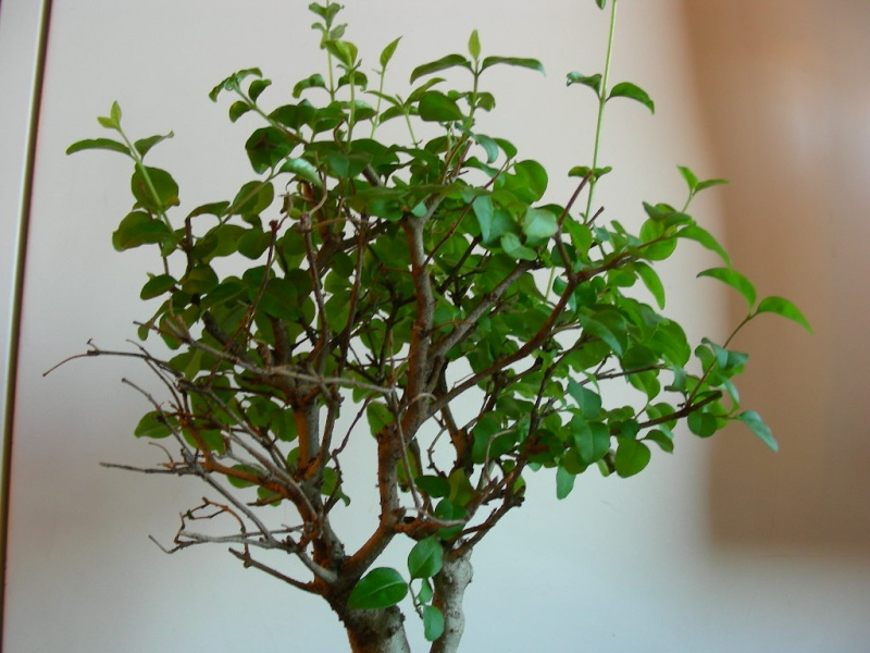 ligustro perde foglie 210