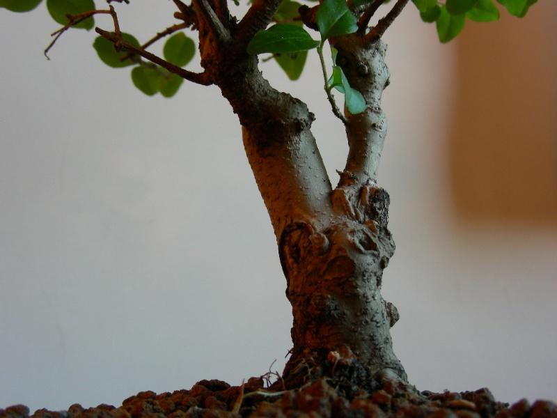 ligustro perde foglie 510