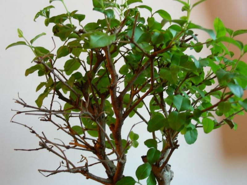 ligustro perde foglie 610