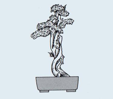 Stili Bonsai (teminologia Jap) Sharim10