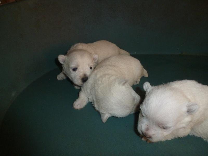 West Highland White Terrier P1140010
