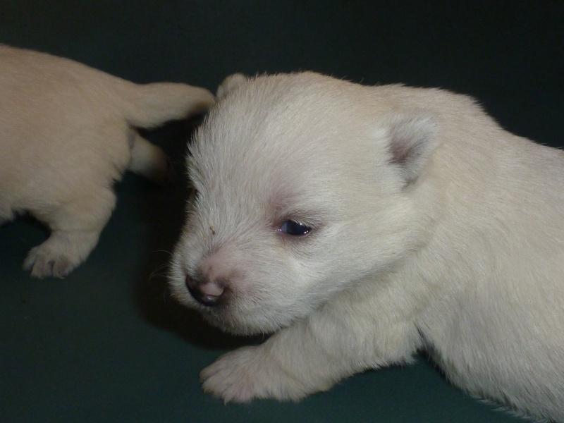 West Highland White Terrier P1140011
