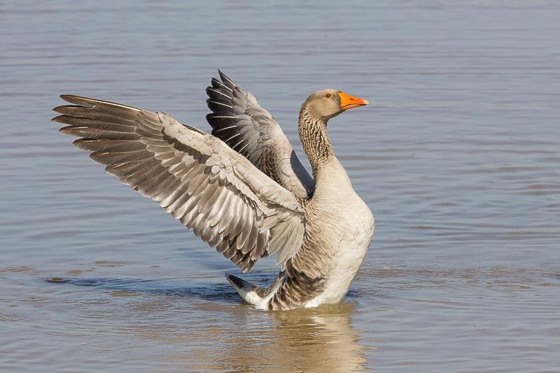 Réserve ornithologique du Teich 17_oie10