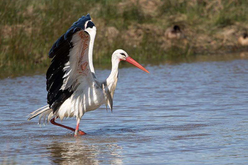 Réserve ornithologique du Teich Img_0611