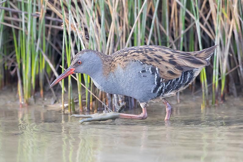 Réserve ornithologique du Teich Rzele_10
