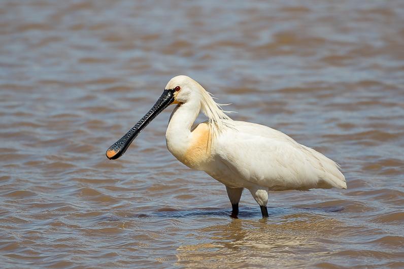 Réserve ornithologique du Teich Spatul10