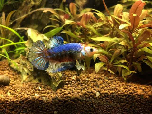 30L : Betta Splendens Plakat, Clithons, Planorbe. - Page 3 Img_1810