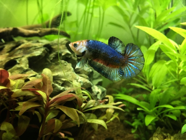 30L : Betta Splendens Plakat, Clithons, Planorbe. - Page 3 Img_2011