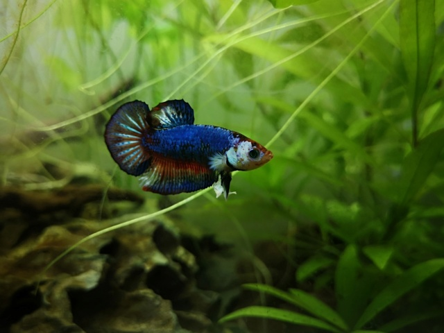 30L : Betta Splendens Plakat, Clithons, Planorbe. - Page 3 Img_2012