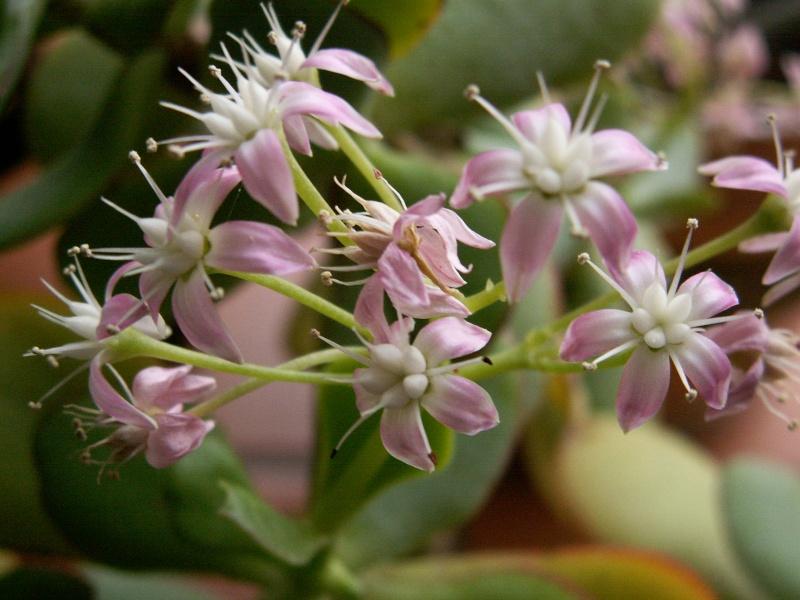 Crassula arborescens ssp. undulatifolia = Crassula arborescens 'Blue Bird' 16-01-10
