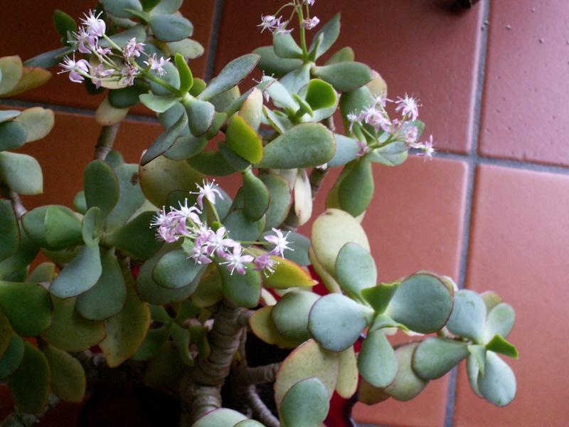 Crassula arborescens ssp. undulatifolia = Crassula arborescens 'Blue Bird' 16-01-11